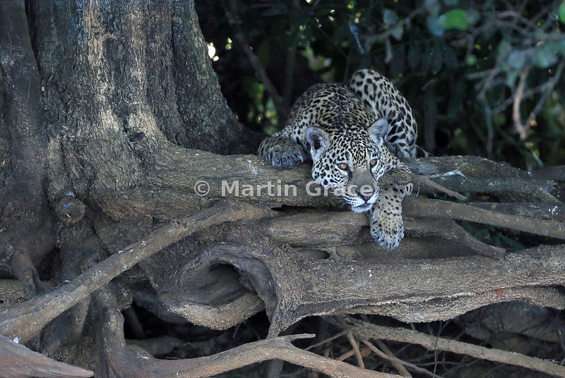 Resting but vigilant - a Jaguar (Panthera onca) known as Amber watches from the exposed roots of a riverside tree, Pantanal, Mato Grosso, Brazil