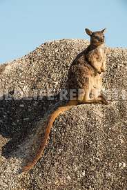 rock_wallaby_mareeba_rock_edge-1