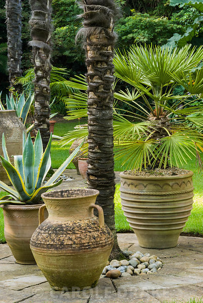 Pots clustering around the base of soaring Chusan palms, Trachycarpus fortunei, in the Sunken Garden, include Agave americanu...