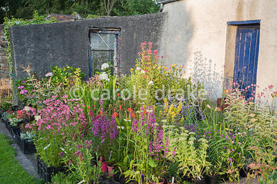 Brightly coloured herbaceous perennials in the nursery area at The Bay Garden, Camolin, Co Wexford, Ireland