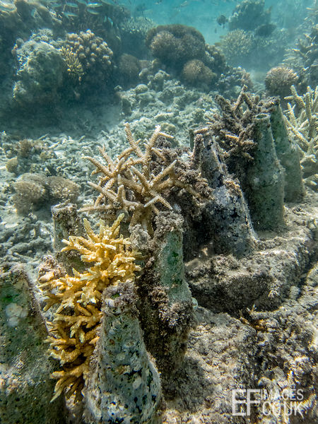 Well established Acropora hard corals growing on Bottle Reefs linking the few remaining natural patches of coral along the cr...