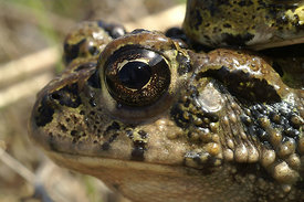 Bufo boreas in amplexus at Kern County, California