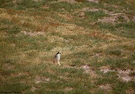 August - Yellow-eyed Penguin