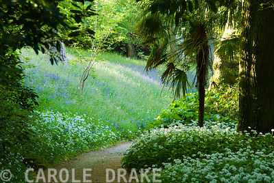 Masses of wild garlic and bluebells carpet the ground along the cherry walk. Minterne, Minterne Magna, Dorset, UK