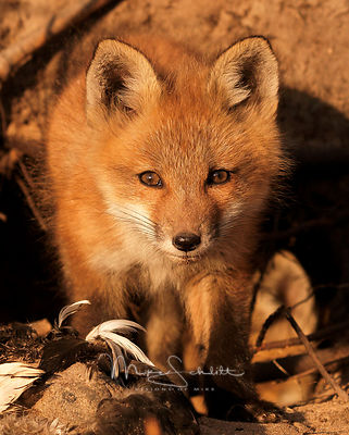 Fox_in_Den_tweeked_cropped_0006