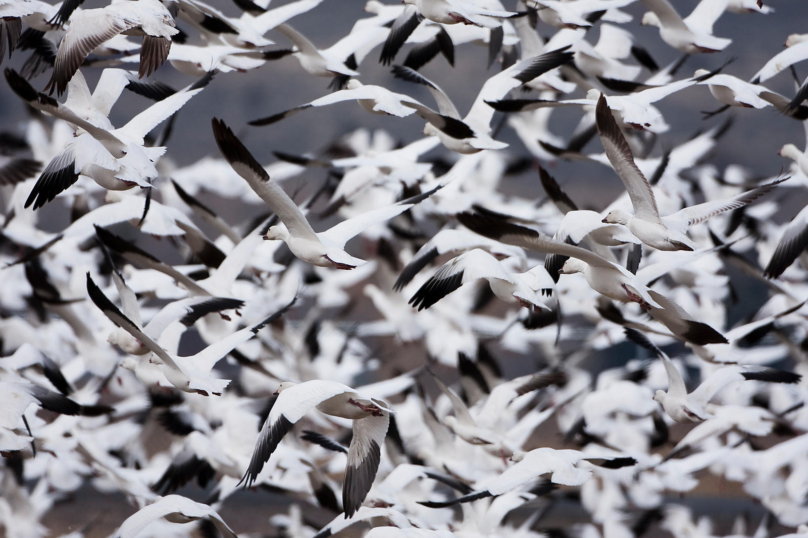 Snow Geese Abstraction
