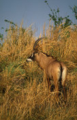 Roan antelope (Hippotragus equinus),  Kafue National Park, Zambia