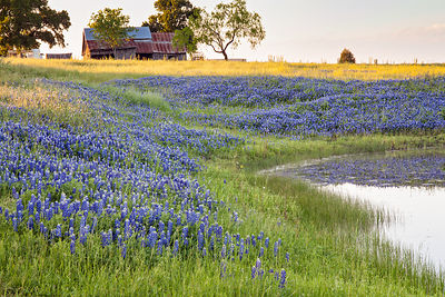 Old Barn and Bluebonnets