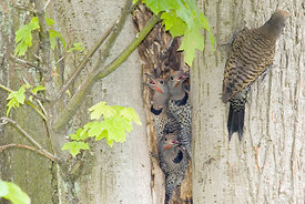 July - Northern Flickers