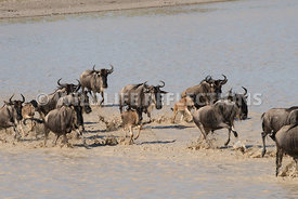 wildebeest_lake_crossing_sequence_02242015-103