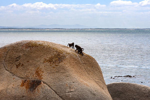 Chacma baboons from the Smitswinkel Troop play on a huge boulder near Miller's Point, Cape Peninsula, South Africa