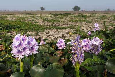 Flowers (sp.) growing in parched and cracked soil in the East Kolkata Wetlands, Kolkata, India.