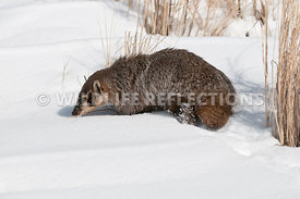 badger_snow_profile_03