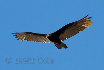 Turkey vulture (Cathartes aura) soaring over the Tambopata River, Peruvian Amazon
