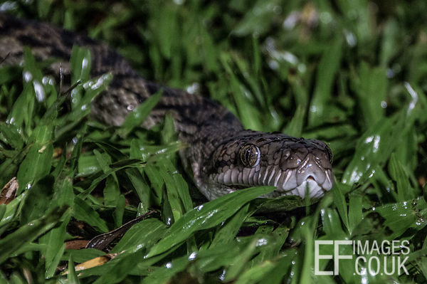 Carpet Python Snake In The Grass