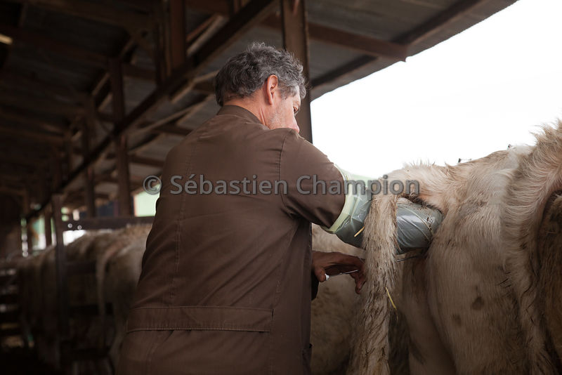 INSEMINATION D UN LOT DE GENISSES CHAROLAISES