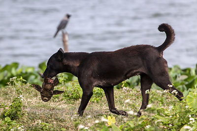 A stray dog eats a live fish given to it by nearby fishermen who are hauling in a net. The dog two whole fish. East Kolkata Wetlands, Kolkata, India.