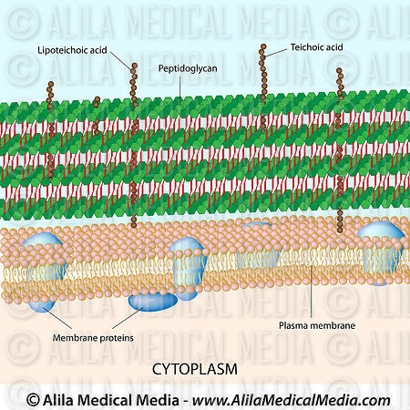 Gram positive bacterial cell wall