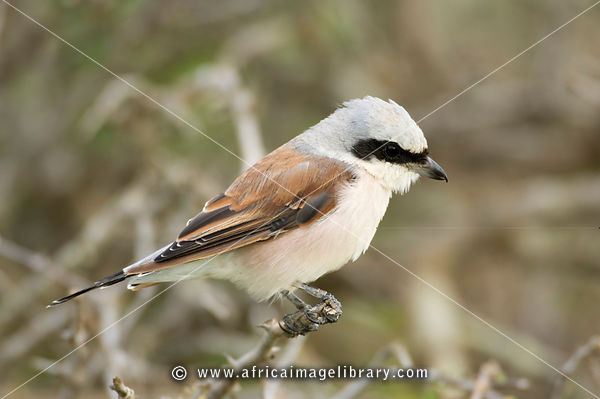 Red-backed shrike, Lanius collurio, Kruger National Park, South Africa