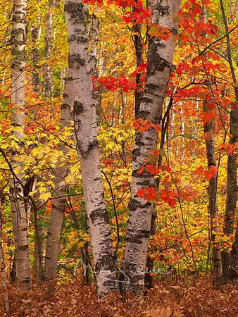 White_Birch_trees_fall_color