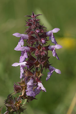 Stachys species