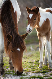 One month old baby WIld horse (Equus ferus caballus) and its mother, Assateague Island, Maryland