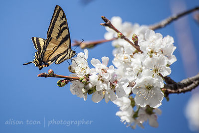 Western Swallowtail Butterfly in cherry blossom