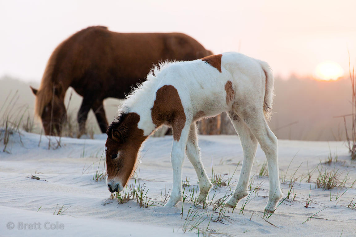 One month old baby wild horse (Equus ferus caballus) and its mother at sunset on sand dunes along the Atlantic Ocean, Assatea...