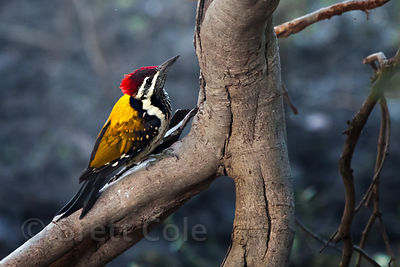 Lesser Golden-backed Woodpecker (Dinopium benghalense), Keoladeo National Park, Bharatpur, India