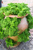 Parsley grown in a terracotta strawberry pot. RHS Garden Rosemoor, Great Torrington, Devon, UK