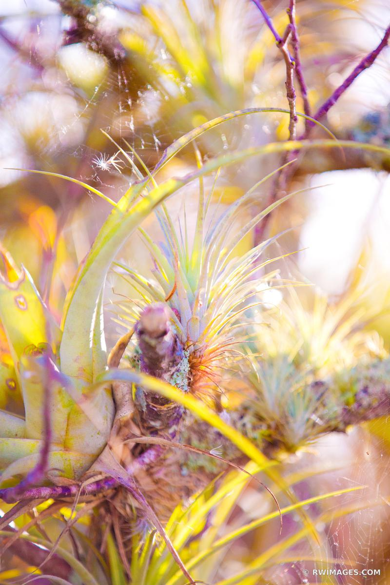 AIR PLANT EVERGLADES NATIONAL PARK FLORIDA