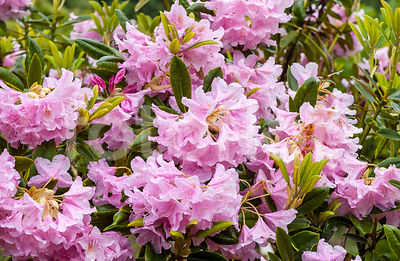Rhododendron faurieri, rose