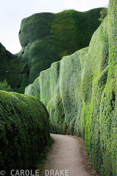 The Box Walk with sheer walls of yew rising behind at Powis Castle Garden in autumn