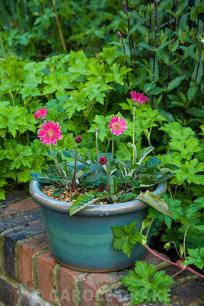 Small pink gerbera in a blue glazed pot sits on a retaining wall. Church View, Horsmonden, Kent, UK