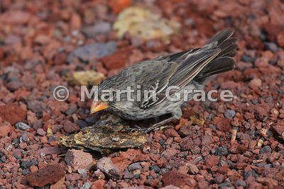 Medium Ground Finch female (Geospiza fortis), Santa Cruz, Galapagos Islands
