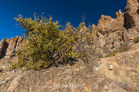 Netleaf Hackberry in Clarno Unit of John Day Fossil Beds National Monument