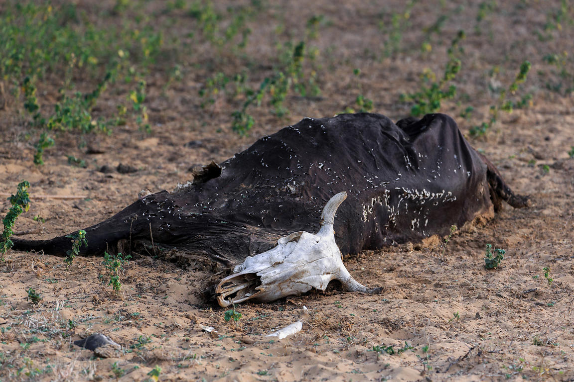 Decomposing cow in the desert, Pushkar, Rajasthan, India