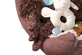 Miniature Poodle Puppy In His Bed