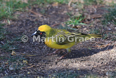 Male Village Weaver - Southern Race - (Ploceus cucullatus), Sandton, Johannesburg, Republic of South Africa