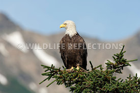 Bald Eagle Perched on Top of a Conifer Tree