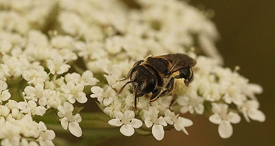 Andrena colletiformis