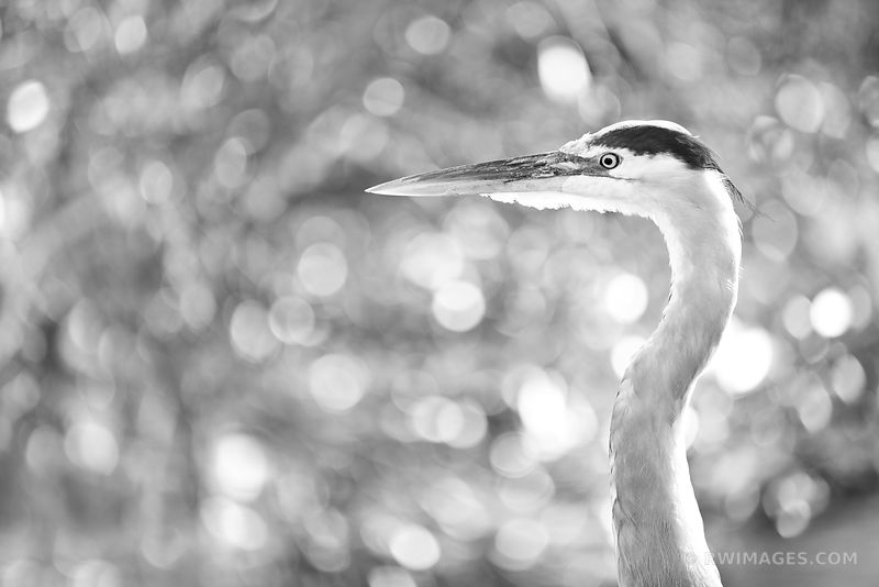 GREAT BLUE HERON EVERGLADES NATIONAL PARK FLORIDA BLACK AND WHITE