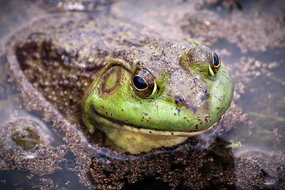 Frog in a pond on a farm in New York