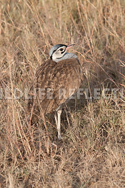White Bellied Bustard Neck In Vertical 3