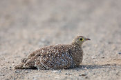 Double-banded sandgrouse, Pterocles bicinctus, Kruger National Park, South Africa