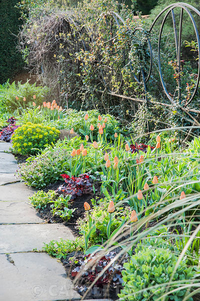 Border alternating dark red heucheras with orange Tulipa 'Generaal de Wet', backed by wall topped with decorative metalwork p...