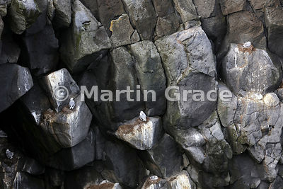Volcanic cliffs at Arnarstapi, Snaefellsnes, Vesturland (Western Region), Iceland with young Black-Legged Kittiwakes (Rissa t...