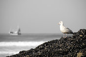 Fishing boat and herring gull