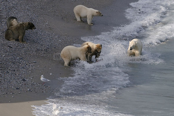 Polar bears (Ursus maritimus) on beach with Walrus carcass, Wrangel Island, Far Eastern Russia, September.