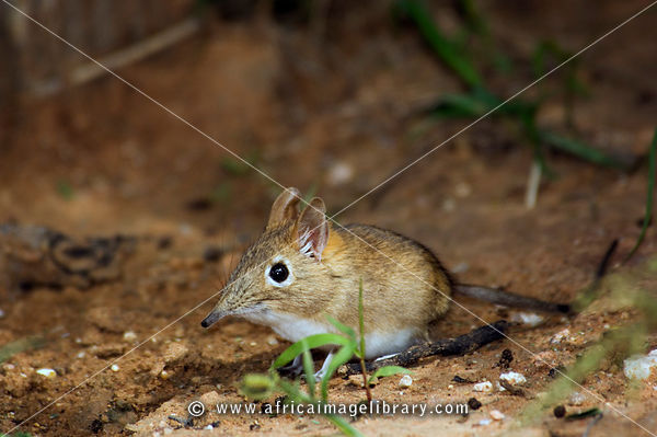 Lesser elephant shrew (Elephantulus), Etosha National Park, Namibia